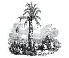 220px-Chilean_palm