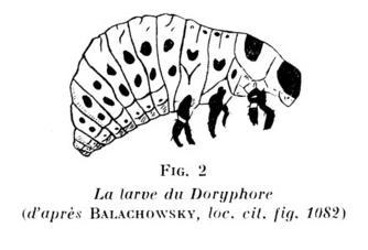 larve-doryphore